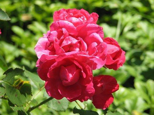 Rose Petals JM