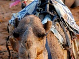 A dromedary camel is sitting on the sand with a harness on his back