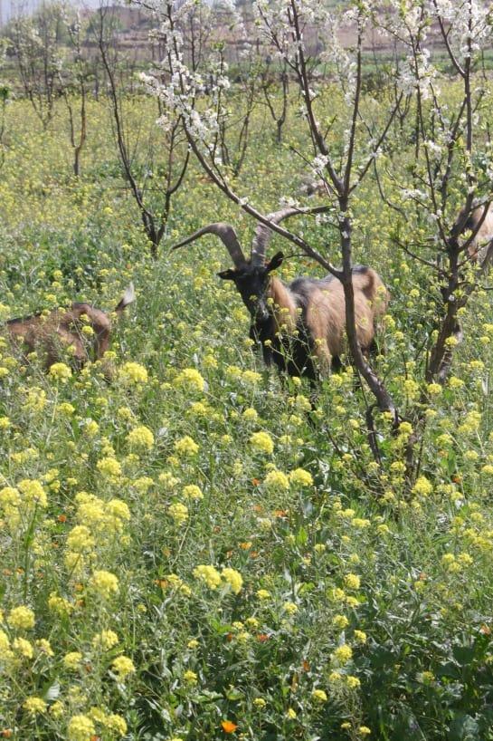 Goats in a Field domaine de la pommeraie