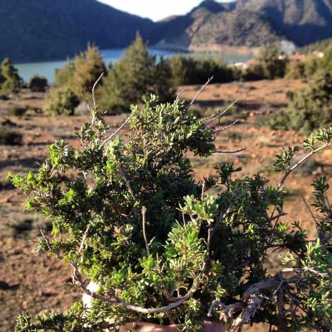 Wild Thyme in Moroccan Atlas Mountains