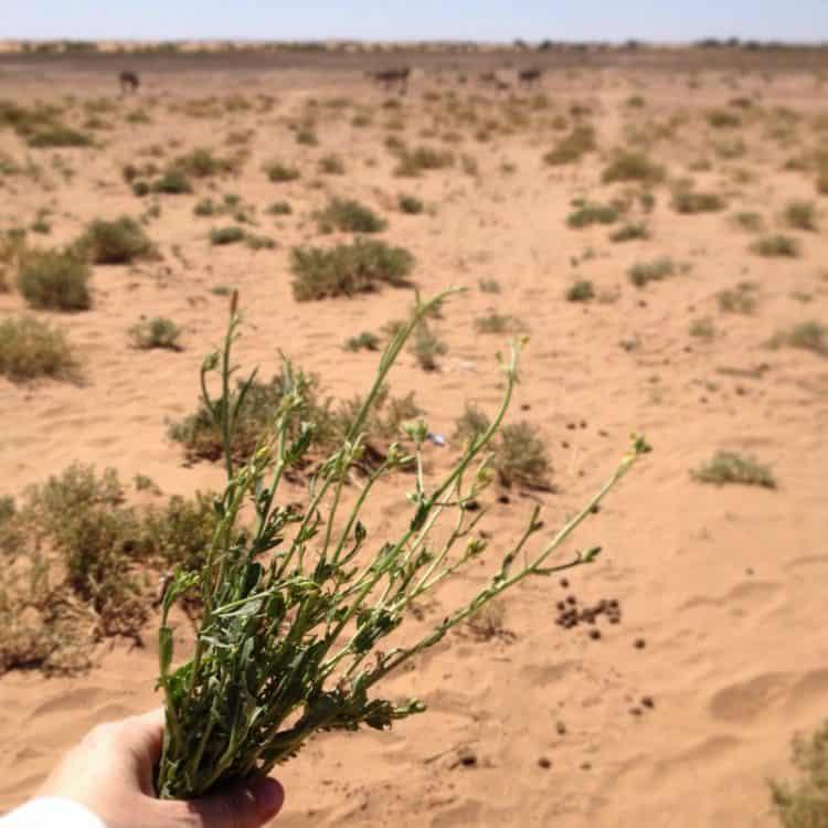Desert Arugula