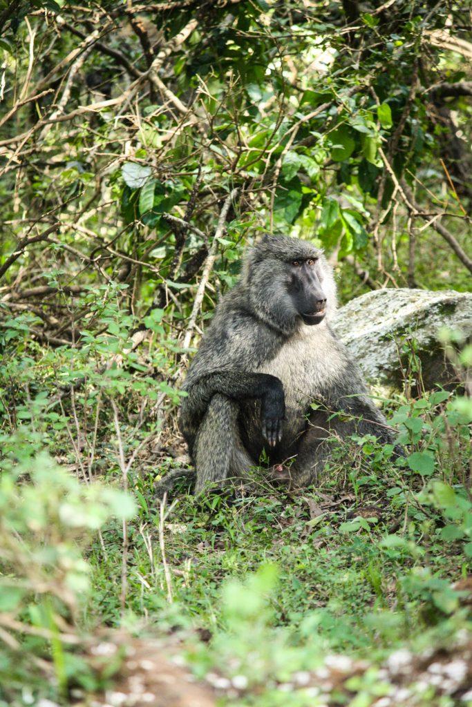 Baboons in Masai Mara