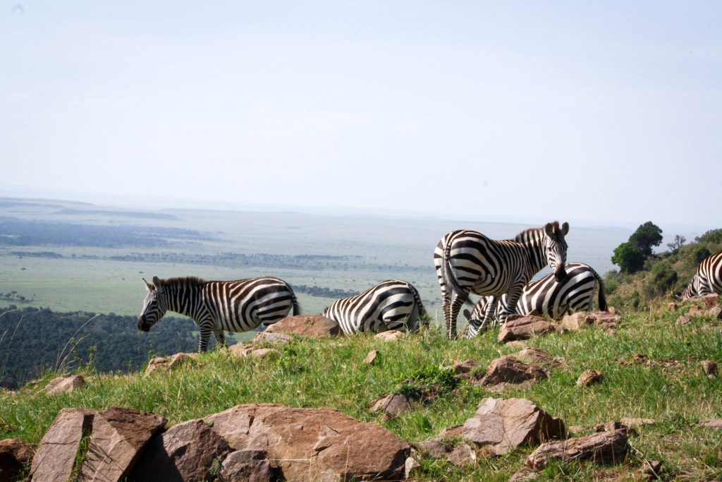 Zebras on the Cliff