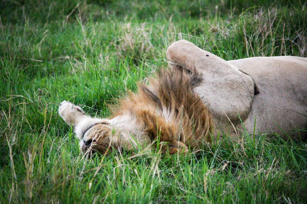 Lion in the Masai Mara Kenya