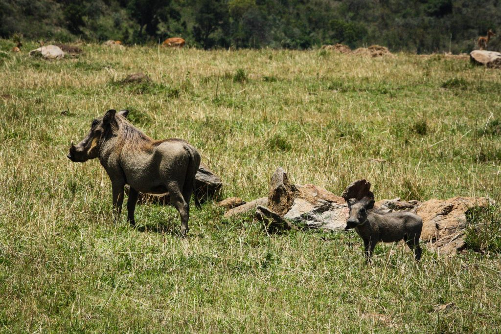 Warthog mom and baby in Masai Mara