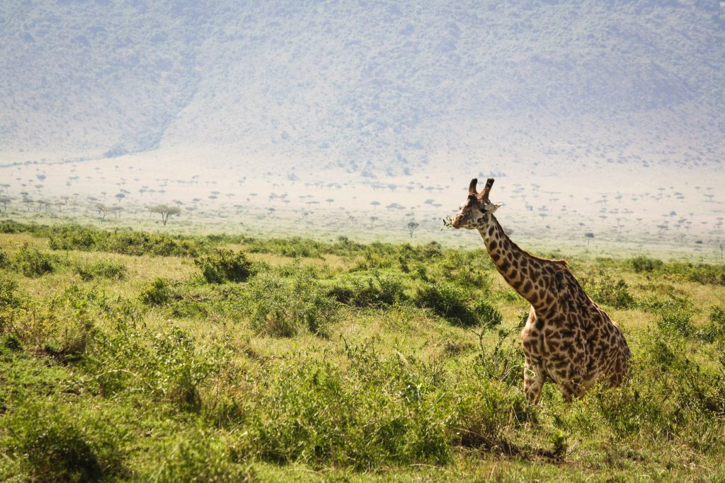 Giraffe on the horizon in Kenya