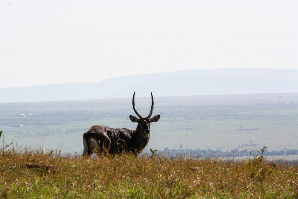 Topai in the grass kenya