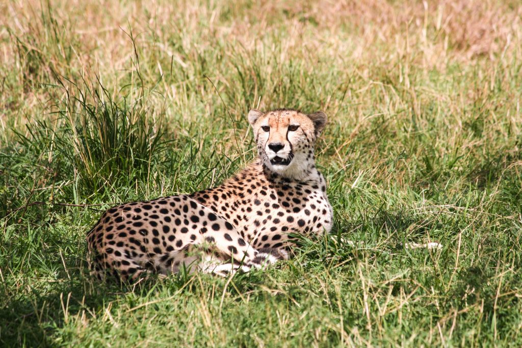 Cheetah sunning under a tree