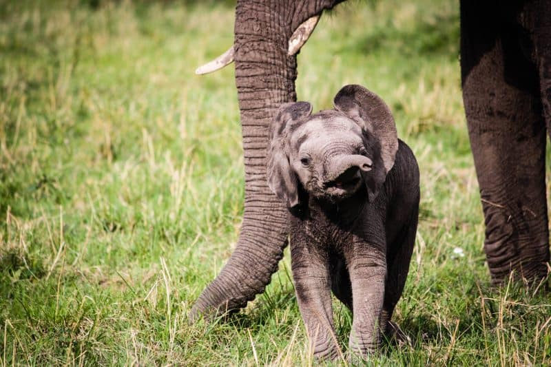 Baby Elephant in Kenya