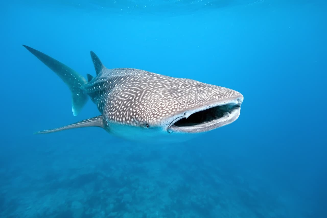 To Face my Fear of the Ocean I Jumped in with Whale Sharks!