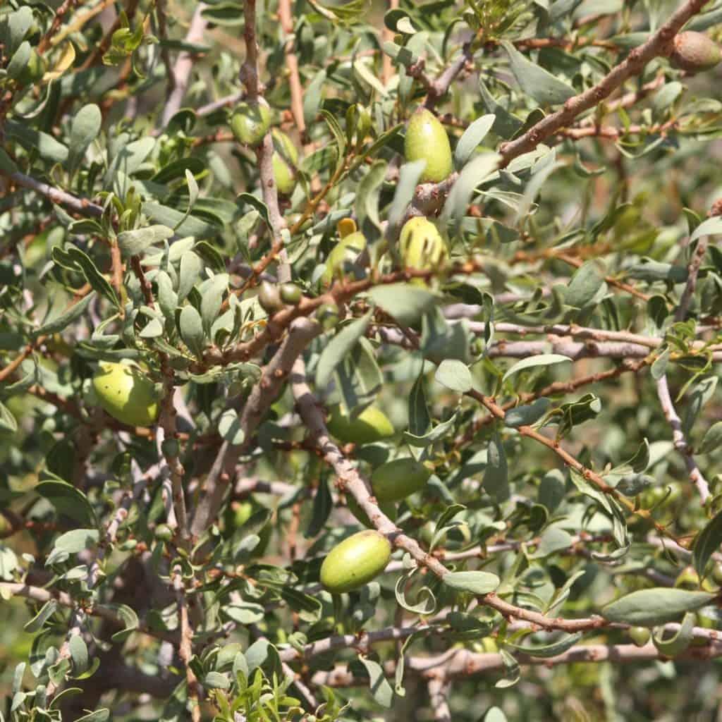 argan fruit on trees