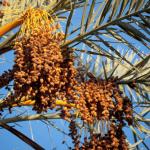 Date Festival Morocco in October