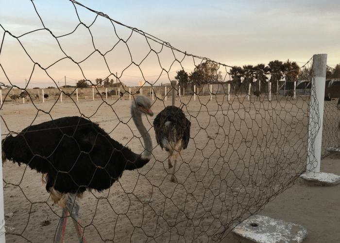 Dakhla Ostrich Farm