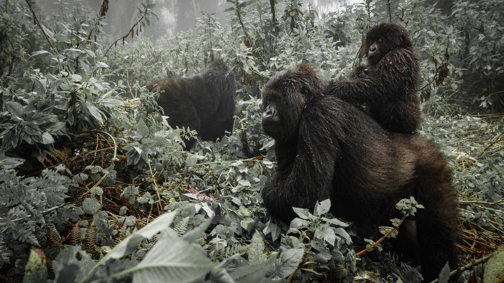 The Ultimate Gorilla Habituation Experience in Bwindi